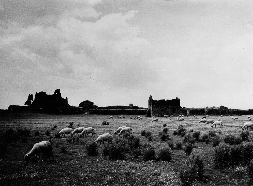 Pecore al pascolo presso il Ninfeo della Villa dei Quintili